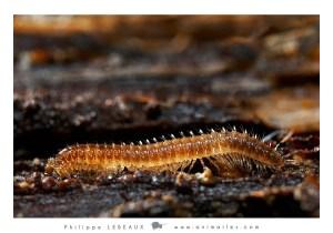 Myriapodes : Polydesme sp.