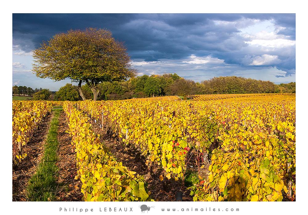 Vigne dans le Beaujolais