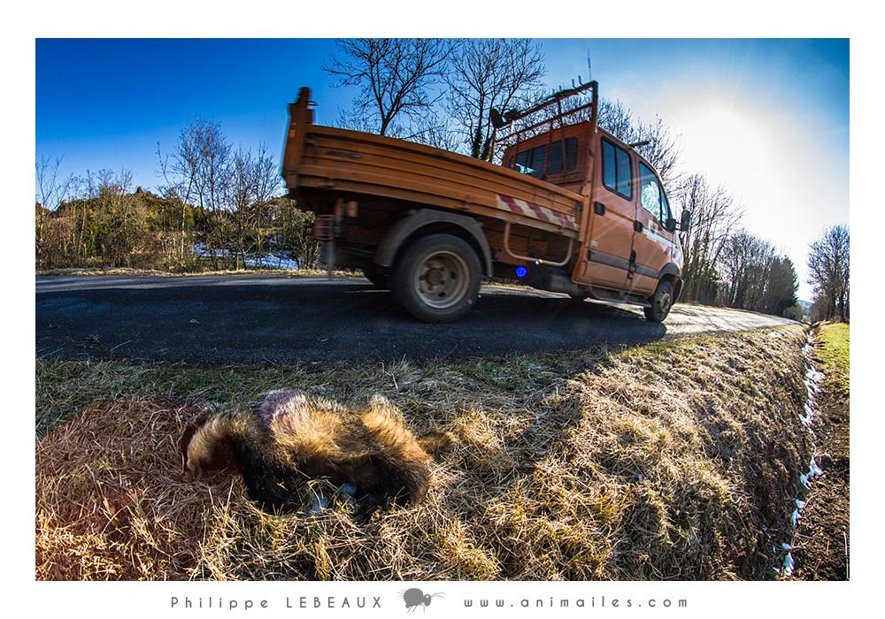 Blaireau mort le longue d'une route du Larzac