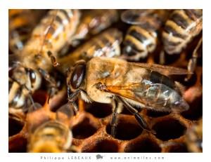 Mâle d'abeille domestique