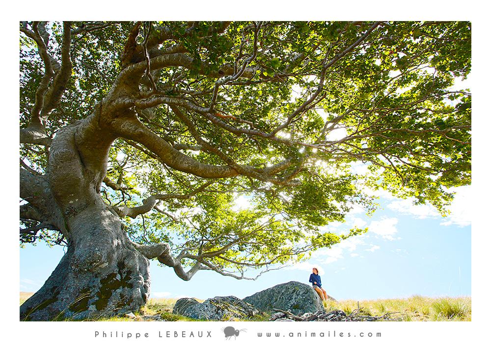 Hêtre Parc national des Cévennes