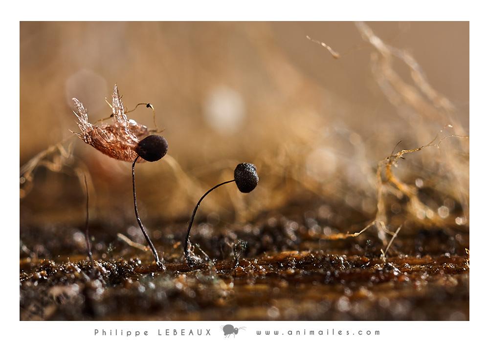 Myxomycetes Comatricha sp