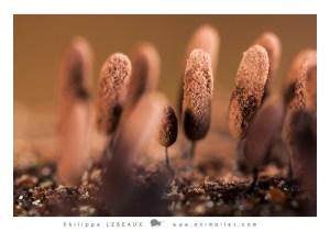 Comatricha typhoides