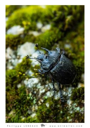 Coléoptère Typhaeus typhoeus