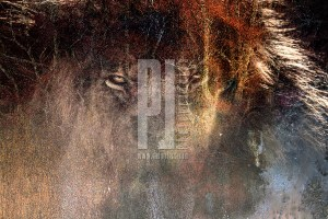 lion with textures - fine-art photography