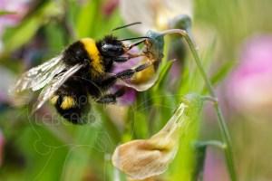 Bourdon terrestre - Bombus terrestris sur fleur de pois sauvage