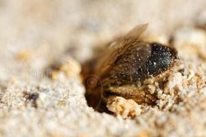 Abeille solitaire - Andrène sp. creusant son nid dans le sable