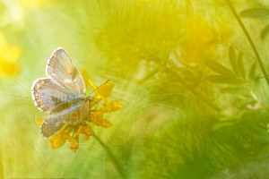 Papillon Argus bleu femelle - Polyommatus icarus sur fleur de Lotier