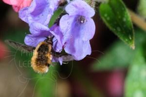 Grand bombyle - Bombylius major butinant une fleur de pulmonaire commune