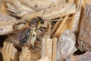 Abeille solitaire avec pattes recouvertes de pollen