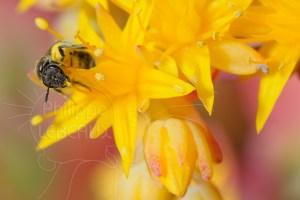 Abeille sauvage Halictus sp. sur fleur de Sedum