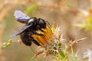 Abeille charpentière - Xylocopa violacea butinant une fleur de chardon jaune