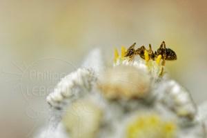 Fourmi noire recouverte de pollen sur fleur d'edelweiss