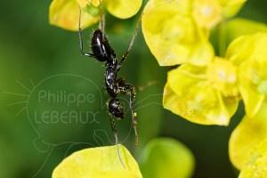 Fourmi noire avec pollen sur fleur d'Euphorbe