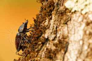 Femelle de Lucane cerf-volant