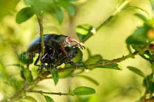 Acoupplement de Lucane cerf-volant