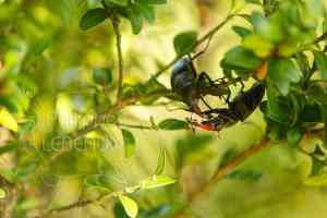 Combat entre deux mâles de Lucae cerf-volant