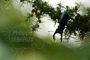 Lucane cerf-volant mâle sur branche de Genévrier