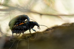 Accouplement de Calosoma sycophanta