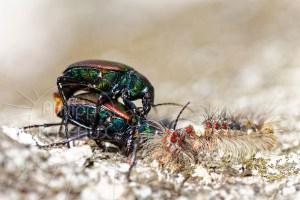 Accouplement de Calosoma sycophanta et femelle dévorant une chenille de Bombyx disparate