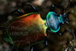 Détails sur le thorax et l'abdomen d'un Calosoma sycophanta