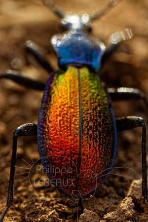 Détails couleurs irisées sur thorax et abdomen Carabus hispanus