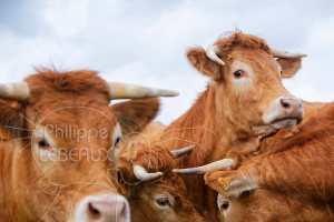 Gros plan sur des têtes de vaches
