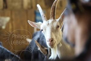 Plan rapproché sur une tête d'une chèvre