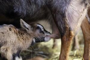 Jeune chevreau qui tête la mamelle d'une chèvre
