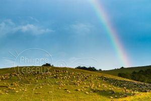 arc-en-ciel avec troupeau de mouton