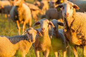 Deux agneaux et brebis