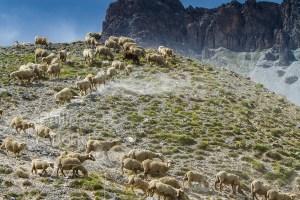 Troupeau de moutons qui descend un sommet en montagne