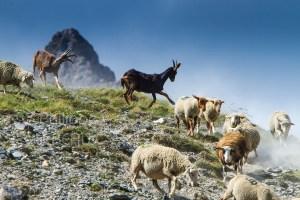 Chêvres et moutons qui descendent une montagne