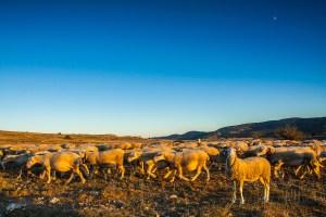 troupeau de moutons en fin de journée et lune dans le ciel