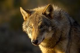 Le loup trouvé mort à Arvieux était empoisonné : les associations de CAP Loup portent plainte
