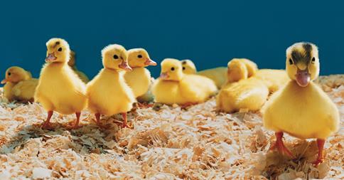 Des canetons broyés et mutilés pour produire du foie gras