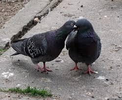 Un espoir pour les pigeons à Pau