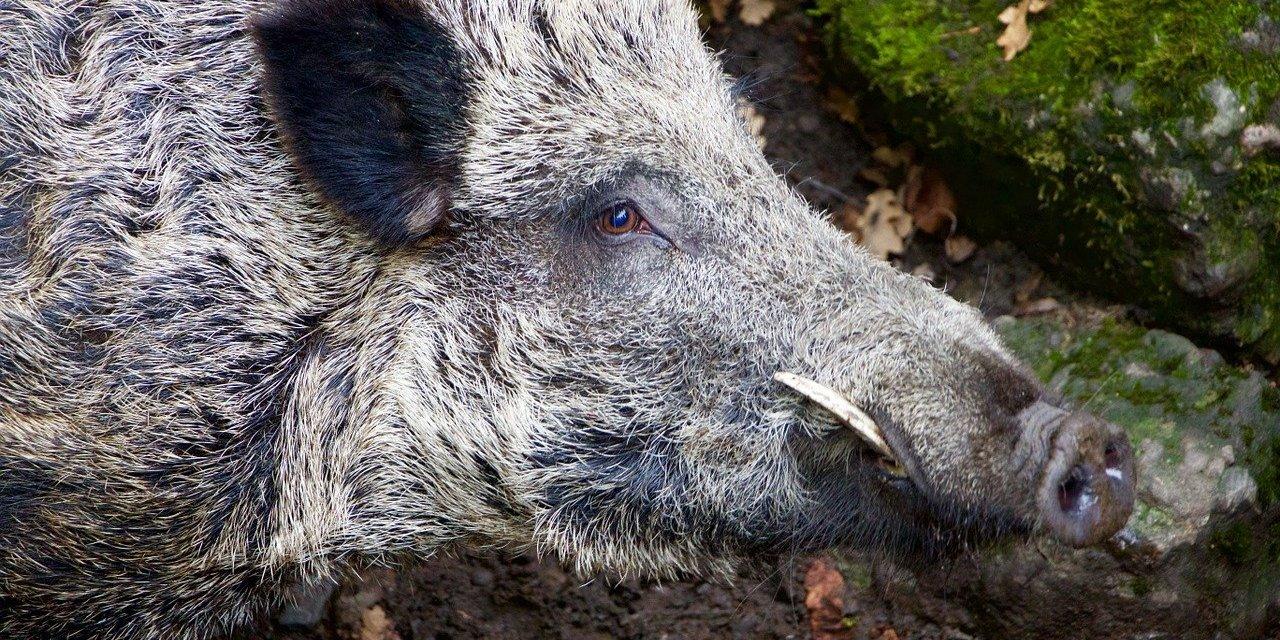 L'imposture des cochongliers