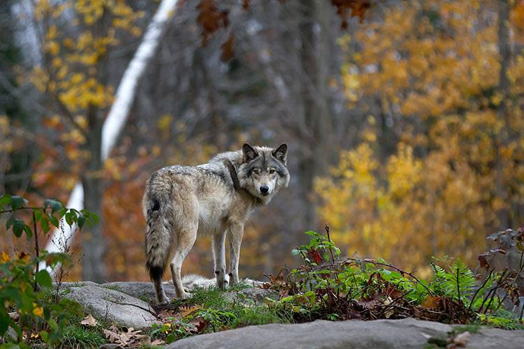 Incitation au braconnage du loup en Haute-Savoie : Animal Cross accuse !