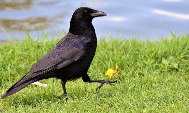 Corbeaux et corneilles : nuisibles ou auxiliaires bénéfiques de la nature ?