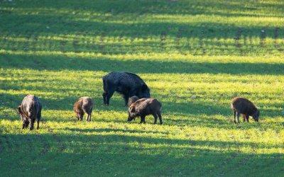 L'indemnisation des dégâts agricoles ou comment légitimer la chasse