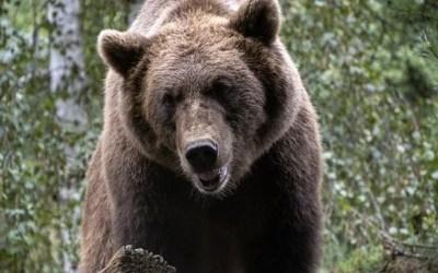 Le Conseil d'Etat annule les autorisations d'effaroucher les ours dans les Pyrénées