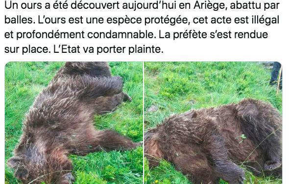 Ours Gribouille tué par balles en Ariège : un an déjà, zéro condamnation et zéro réparation