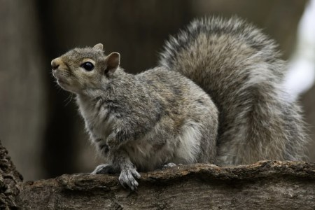 gray squirrel looking up