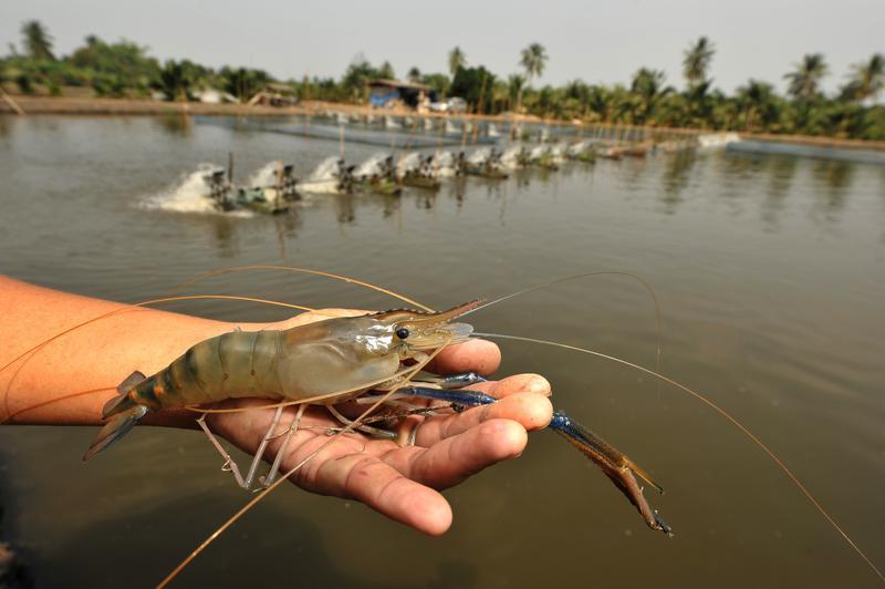 Giant freshwater prawn on shrimp farm | Animal Ethics