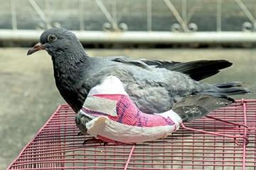 Injured pigeon sitting on cage with bandages on wing