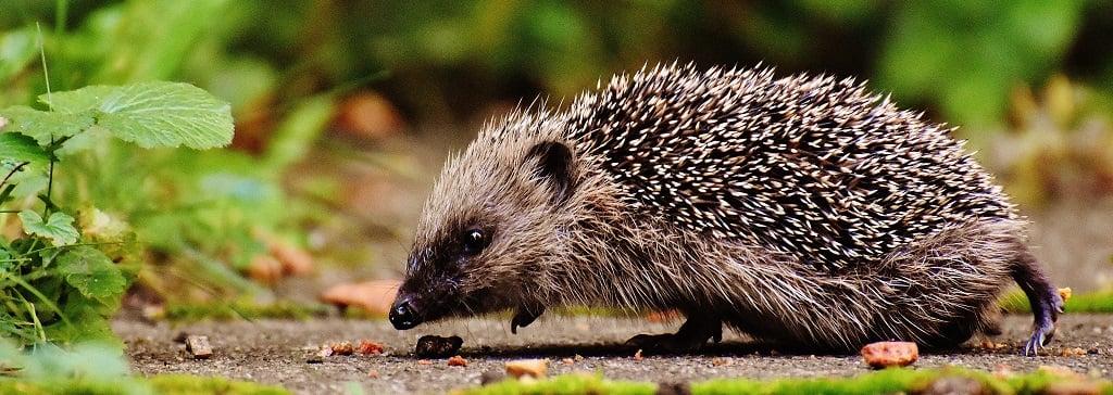 grey hedgehog sniffing soil