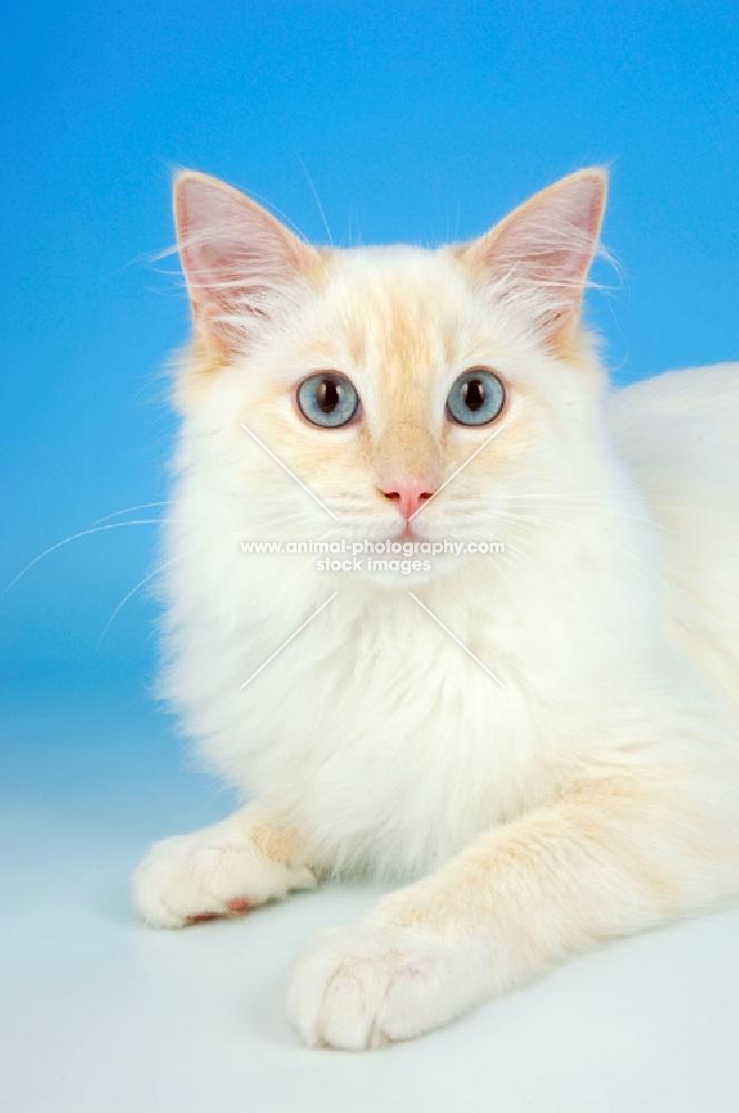 Animal Photography  cream point ragdoll cat portrait  Image refAP1RUQXB
