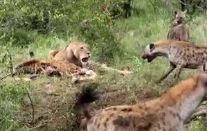 ライオン1匹 vs ハイエナの群れ、ハイエナ優勢が一瞬にして・・・