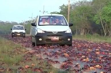 道路を覆い尽くすカニの大群